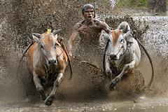 s 20190810_Pacu Jawi_DSC_7700 (Andrew JK Tan) Tags: pacujawi bullracing westsumatra nikonz6 nikkor500mmpf padang action bulls