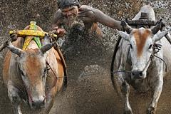 s 20190810_Pacu Jawi_DSC_7696_Crop (Andrew JK Tan) Tags: pacujawi bullracing westsumatra nikonz6 nikkor500mmpf padang action bulls