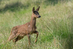 Young Roe Deer (Tim Melling) Tags: capreoluscapreolus roe deer fawn west yorkshire timmelling