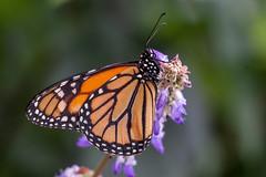 Papillon (clamar18) Tags: butterffly insecte orange monarque nature france vannes papillon