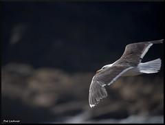 Goéland brun (pat lechner) Tags: gull bretagne lesser brun blackbacked finistère goéland lesserblackbackedgull goélandbrun