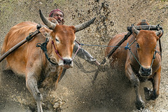 s 20190810_Pacu Jawi_DSC_7399 (Andrew JK Tan) Tags: pacujawi bullracing westsumatra nikonz6 nikkor500mmpf padang action bulls