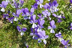 Flowers in the meadows, Timfi, Greece (Miche & Jon Rousell) Tags: flowers lake mountains purple meadow greece ravine gorge dragonlake zagori drakolimni timfi megalakkos pindos pindosmountains