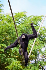 43/52 - The tightrope walker [Explore] (m4mboo) Tags: 52 52project animal arcachon corde mammifère monkey motion mouvement parc park siamang singe stoppedmotion tree wire zoo zoologie