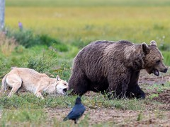Uneasy relationship... (Ted Smith 574) Tags: grey wolf brown bear