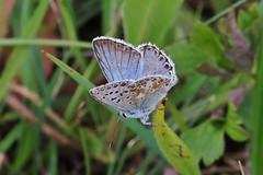 Bläuling (Hugo von Schreck) Tags: hugovonschreck canoneosm50 butterfly schmetterling falter insect insekt macro makro tamronsp90mmf28divcusdmacro11f017