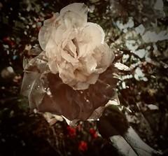 white rose (delnaet) Tags: roos rose wit blanc white flower bloem flora flor fleur blume