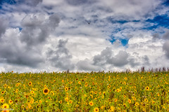 12082019-DSC_0018 (vidjanma) Tags: champ fleurs jaune nuages tournesols