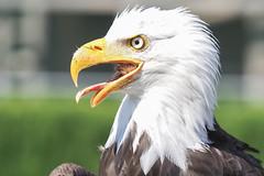 Portrait Weisskopfseeadler (jasmin394) Tags: olympus em1ii mzuiko40150f28pro weisskopfseeadler bird vogel natur wildlife portrait