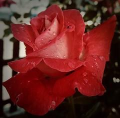 rose (delnaet) Tags: roos rose red rouge rot rood flower fleur flora flor rosa macrodreams