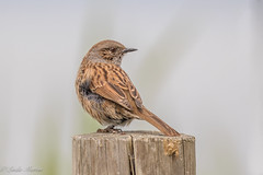 Dunnock (Linda Martin Photography) Tags: dorset wildlife nature bird prunellamodularis dunnock longhamlakes uk animal coth alittlebeauty specanimal coth5 naturethroughthelens ngc npc