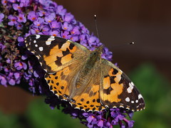 Painted Lady Butterfly (Megashorts) Tags: olympus omd em10 mkii mzd 60mm f28 macro butterfly insect paintedlady bug summer 2019 buddleia garden