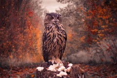The predator .... (Tbui15) Tags: tamron lightroom photoshop composition a7iii sony nature eule wildlife owl
