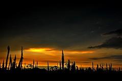 Twilight silhouette (mattlaiphotos) Tags: flowers plant flora botanic sky silhouette sunset glow twilight dusk clouds scenery