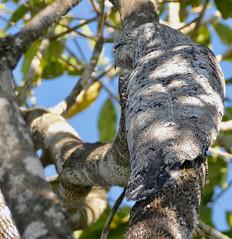 Great Potoo (Nyctibius grandis) (berniedup) Tags: pousoalegre transpantaneira poconé pantanal greatpotoo nyctibiusgrandis potoo taxonomy:binomial=nyctibiusgrandis