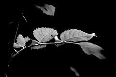Leaves - Blätter (b_kohnert) Tags: bw blackandwhite natur nature monochrome macro blätter leaves