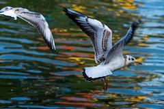 Mal wieder eine Möwe eingefangen (Allbeautifulthings) Tags: möwen vögel rhein rheinufer sommer