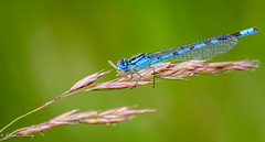 Common Blue Damselfly male 13-July-19 G  001 (gomo.images) Tags: 2019 angus country damselflies forfar insects murtonloch nature scotland years
