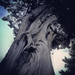 #albero #intreccio (gagga1977) Tags: intreccio albero