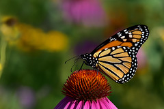 MonarchMeridius1 (2)Small (Rich Mayer Photography) Tags: monarch butterfly butterflies insect insects nature fly flying flight cone flower coneflower flowers perch colors colorful nikon