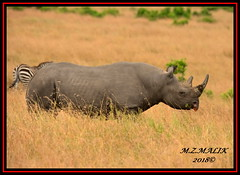 BLACK RHINOCEROS (Diceros bicornis).....MASAI MARA.....SEPT 2018. (M Z Malik) Tags: nikon d800e 400mmf28gedvr kenya africa safari wildlife masaimara keekoroklodge exoticafricanwildlife rhino ngc npc