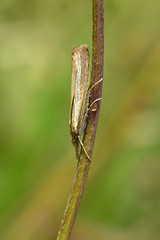 Agriphila tristella (AndyorDij) Tags: nationalmothweek agriphilatristella england empingham rutland uk unitedkingdom andrewdejardin lepidoptera crambidae
