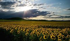 El ultimo Sol ☀️ (pascual 53) Tags: olite marcilla peralta 🌻🌻🌻 eso5ds canon girasoles navarra 28mm colores nubes viento verano falces