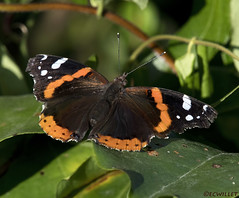 08041946308asmweb (ecwillet) Tags: redadmiral butterfly insect nikon nikond500 nikon200500f56 ecwillet ericwillet