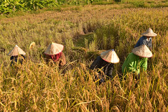 woman harvests rice on terraced paddy field in Mu Cang Chai district (VietNamBeautiful) Tags: farmer smile asian rice woman work cambodia villager ethnicity highland agriculture green travel mong yellow life field valley curve terraced region farm vietnamese people hmong ethnic female asia indigenous portrait mucangchai thai poverty mountainous face h plant person mountain laos rural laugh harvesting scene sapa nature harvest vietnam minority