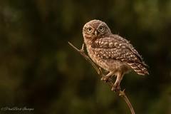 Little Owl Owlet (budgiepaulbird) Tags: canon7dmark2 100400mark2 littleowl owlet owls birdsofprey juvenile perched