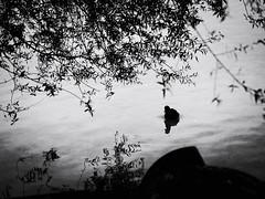 GFX1674 - Duck (Diego Rosato) Tags: duck canard anatra papera oca lago lake posta fibreno controluce backlight acqua water natura nature bird uccello acquatico albero tree fuji gfx50r fujinon gf110mm rawtherapee bianconero blackwhite