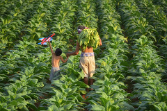 Father and son at the tobacco garden. (VietNamBeautiful) Tags: son father sunset looking man view nature child people field farm lifestyle family outdoor life boy together holding hands corn young happy dad adult caucasian back parent plant day bonding kid little childhood rural togetherness sky lake beautiful play standing mountain