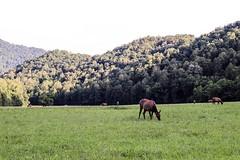 elk meadow (Yuki (8-ballmabelleamie)) Tags: greatsmokymountainsnationalpark cherokee meadow farm field elk mountains evening nature animals summer travel roadtrip sunset wildanimals