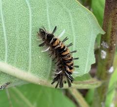 Milkweed Tussock Moth caterpillar (Stylurus) Tags: michigan lodi township prairie oaks milkweed tussock moth caterpillar spirit lake ozaukee county wisconsin euchaetes egle