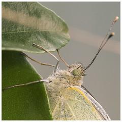 Butterfly (javiblue25) Tags: macro macrophotography nikonistasspain wildlifenature naturephotography naturelovers closeup bug aragon nikond500 nikon tamron90tamron90mm butterfly mariposa macrolove papillon naturalezaspain macroviewpoint