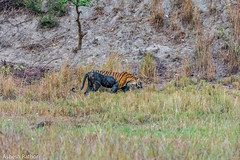 On the prowl (asheshr) Tags: 200500mm d7200 kanha kanhanationalpark nikon rbt royalbengaltiger tiger wildlife wildanimal wild ontheprowl maletiger incredibleindia india