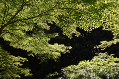 京都・貴船 ∣ Kibune・Kyoto 【EXPLORED】 (Iyhon Chiu) Tags: 貴船口 京都 日本 kyoto japan japanese 貴船 kibune tree forest 森林 自然