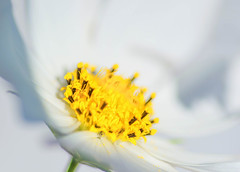 White Cosmos (~DGH~) Tags: august pentaxk50 cosmos hot macro petals smcpentaxdfamacro100mmf28wr yellow ~dgh~ summer 2019 edmonton alberta canada communitiesinbloom abstract