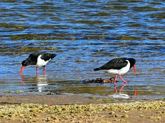 Pied oystercatchers at the mouth of the lake I (elphweb) Tags: hdr highdynamicrange nsw australia coast coastal seaside bird birds avians oystercatcher piedoystercatcher sea ocean beach water sand