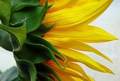 green and yellow (majka44) Tags: nature flower sunflower light macro detail 2019 green yellow