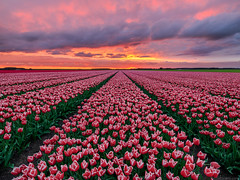 Tulips For Miles (Elia Locardi) Tags: green tulips amsterdam holland netherlands fields sunset europe flowers elia locardi colors