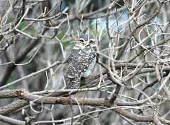 Spotted Owlet hiding behind the branches (ajaymidha7) Tags: owl owlet spotted nature wildlife bird birds india indian