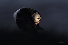 The Blue Hour - Atlantic Puffin Style (Chantal Jacques Photography) Tags: wildandfree atlanticpuffin bluehour icelandicbird