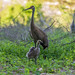 #5 Family ~ Adopted Canada Gosling, Mama Sandhill Crane, and Papa Sandhill Crane keeping watch over his family ~ Branta canadensis and Antigone canadensis ~ Kensington Metropark, Michigan