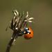 Ladybird on a seed-head
