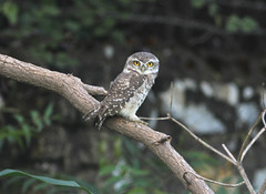 Spotted Owlet (ajaymidha7) Tags: bird birds spotted owlet owl nature wildlife india indian