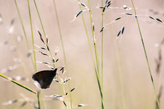 AWS_6879 (alanwsmithphotography) Tags: butterfly nature naturephotography nikon nikond750 outside meadow sunlight morning