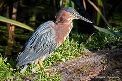 Summer Days (Gary Grossman) Tags: heron bird summer forest llake lakeshore lakeside reeds wild wildlife northwest garygrossman garygrossmanphotography greenheron naturephotography wildlifephotography crystalsprings