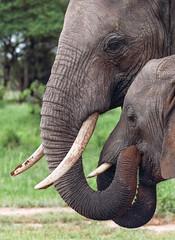 As They Deserve More ... (AnyMotion) Tags: africanelephant afrikanischerelefant loxodontaafricana elephants elefanten oldandyoung§ altundjung attentivecare sorgfältigebetreuung 2018 anymotion tarangirenationalpark tanzania tansania africa afrika travel reisen animal animals tiere nature natur wildlife 7d2 canoneos7dmarkii portrait porträt portraitaufnahmen ngc npc