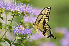 giant swallowtail (G_Anderson) Tags: giant swallowtail bee balm pollinator native montauk ozarks missouri summer butterfly